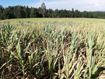 Jornada online sobre estrategias para enfrentar las sequías en el maíz