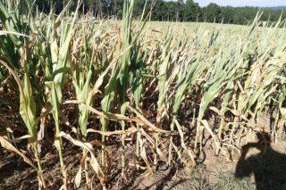 Gran preocupación en el campo por las elevadas pérdidas que provocará la sequía en la cosecha de maíz