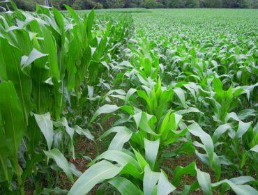El frío del mes de junio ha retrasado el crecimiento del maíz, con algunos ataques también de rosquilla