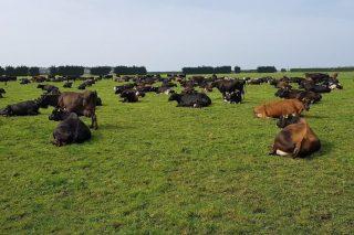 Gestión del pasto en Nueva Zelanda, el país con los costes de producción de la leche más bajos