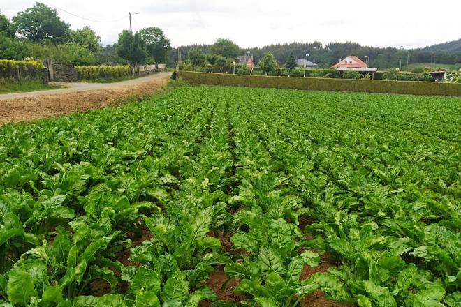 ¿Podría ser el cultivo de remolacha una alternativa en Galicia?
