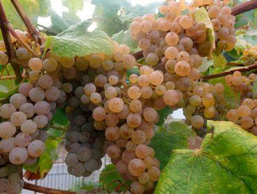 Areeiro concluye las revisiones previas a la vendimia ante el buen estado fitosanitario del viñedo