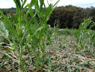 El jabalí intensifica los daños en las semanas previas al ensilado del maíz