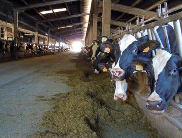 Resultados oficiales de las mejores ganaderías de vacuno de leche de Galicia en el 2020