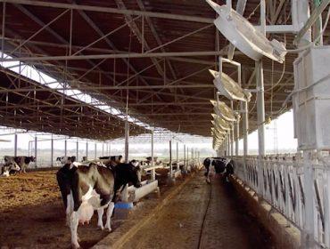 Así se controla el estrés por calor de las vacas en granjas de Israel