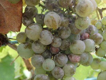Areeiro recomienda valorar un tratamiento contra el oídio en las viñas