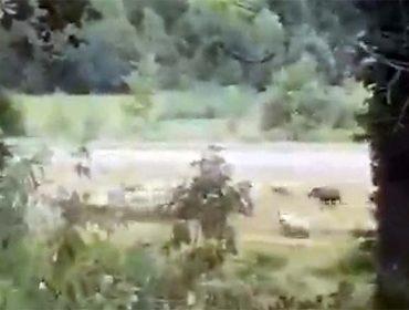Sorpresa por el ataque del jabalí a una oveja en el País Vasco
