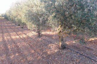 «Los incendios nos quemaron más de 18.000 olivos en la última década; no volveré a plantar en Galicia»