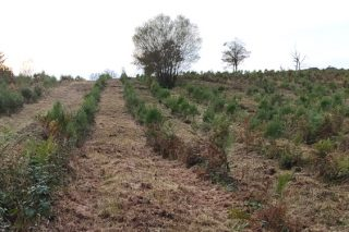 Convocadas las ayudas para forestación con coníferas y frondosas