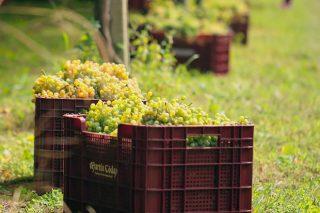 Rías Baixas supera los 34 millones de kilos de uva, a pocos días para el final de la vendimia