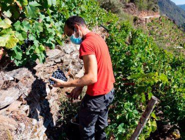 Más de la mitad de las bodegas de la Ribeira Sacra ya acabaron la vendimia