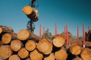 ¿Qué tipo de madera de pino quiere la industria en Galicia?