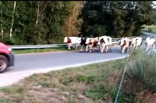 Un ganadero de Chantada, desesperado por los continuos ataques de una manada de perros a su ganado
