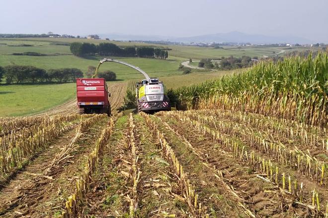 Valoración de la cosecha de maíz 2020 en las principales comarcas lecheras de Galicia