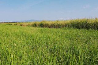 Pruebas con sorgo, pasto del Sudán y maíz en una ganadería ecológica de Allariz