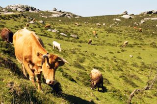 Convocadas las ayudas de la Xunta por sacrificio obligatorio del ganado