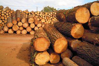 El precio del pino remonta el vuelo