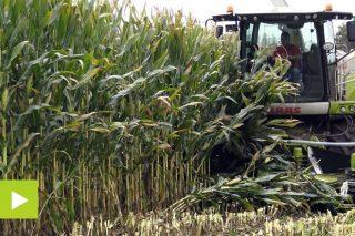 'Pioneer P0725', un maíz adaptado a campañas con sequías estivales