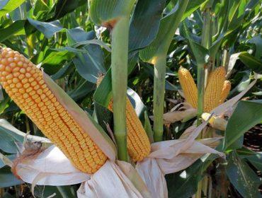 'MAS Seeds' apuesta por los maíces híbridos 'Green+', que toleran las sequías estivales