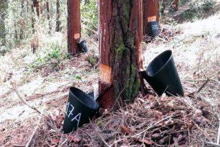 Jornadas divulgativas este viernes y sábado sobre el potencial resinero de los pinares gallegos