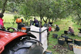 Cosecha de manzana de sidra 2020, balance de producción y precios