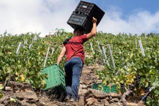 Los nuevos contratos homologados para la compra-venta de uva: valoraciones en el sector en Galicia