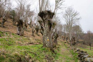 ¿Conocemos bien las variedades de castaños de los sotos gallegos?