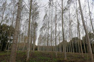 ¿Puede ser el chopo una opción para plantar en Galicia?