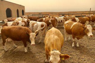 Ganadería Microtón: El reto de producir leche de vaca en Canarias importando toda la alimentación