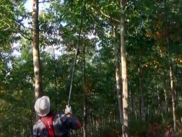 Videotutoriales para la poda de frondosas caducifolías y de pinos