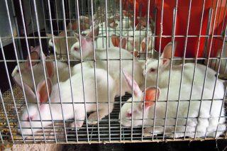 La subida de los costes de producción pone en dificultades a las granjas de conejos