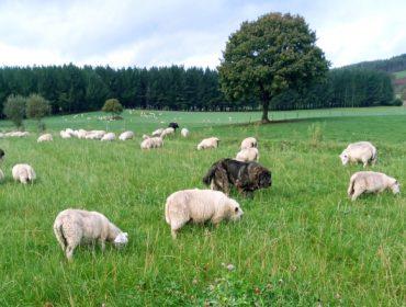 Importes definitivos de las ayudas asociadas para ganaderías de ovino y de caprino