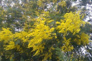 Acacias, la 'plaga' que mata 'plagas'