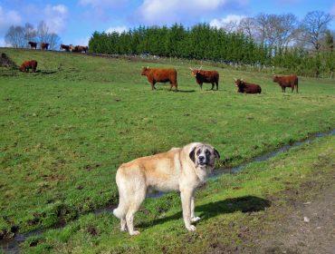 Cursos sobre ganaderías de vacuno de carne, ovino – caprino y prevención de ataques de lobo