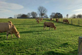 Un año de Covid, con incertidumbre en las granjas de vacuno de carne