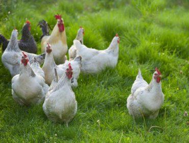 De Heus presenta su nueva gama de piensos para gallinas ponedoras