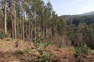Asturias prevé autorizar la plantación de eucalipto nitens