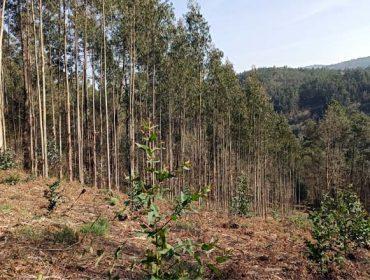 La Xunta anuncia un plan de control de nuevas plantaciones de eucalipto
