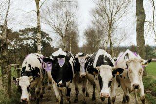 Las vacas de Xanceda se manifiestan por todas las muUujeres