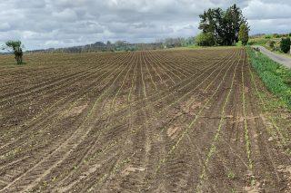 Recomendaciones para las siembras tempranas de maíz