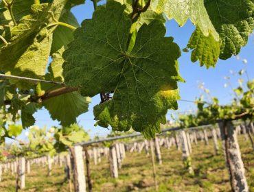 Soluciones naturales para el control de enfermedades criptogámicas en viñedo
