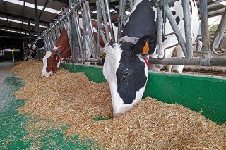 Webinar de ABEMBE sobre manejo de la vaca en transición