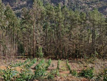 La inminente moratoria del eucalipto desencadena un efecto boomerang de plantaciones