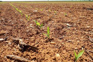 Claves para una buena germinación de las semillas de maíz