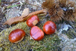 Curso sobre plantaciones de castaños de fruto en Moeche