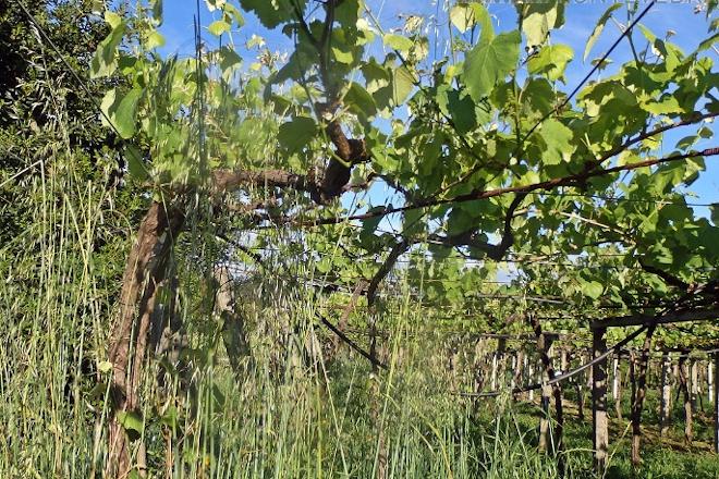 Aconsejan renovar los tratamientos contra el mildio en la viña y controlar la hierba