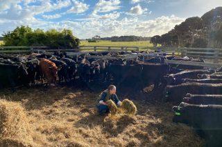 Ganadería Gado, más de 2.000 cabezas de ganado en Australia alimentadas 100% con pasto