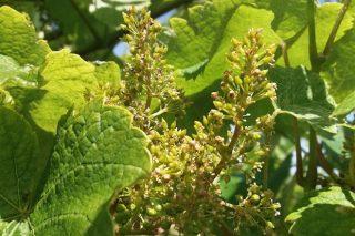 Areeiro recomienda extremar la protección de las viñas en la floración