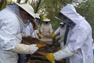Selección genética de la abeja gallega, colmenas más resistentes a enfermedades, productivas y mansas