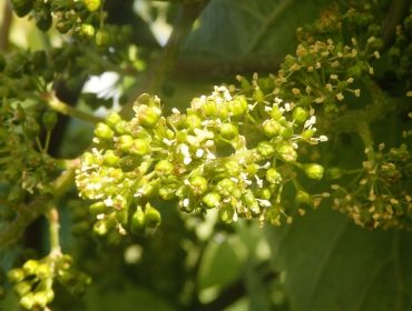Areeiro aconseja revisar las viñas y renovar tratamientos ante síntomas de mildiu